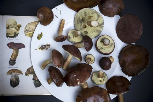 mushrooms  chestnut röhling  autumn