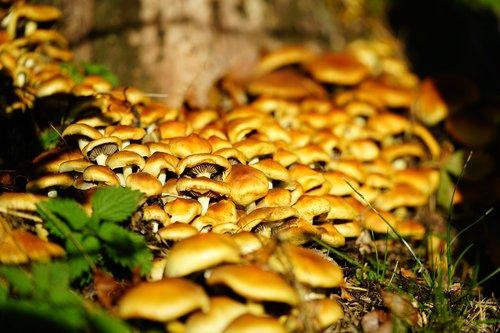 mushrooms  nameko  galerina