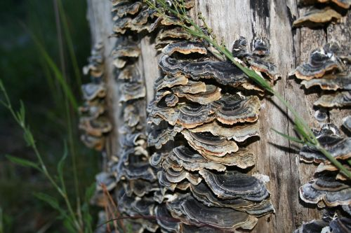 mushrooms turkey tail nature