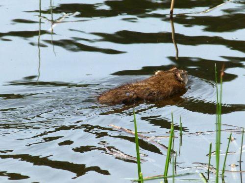 muskrat water animal
