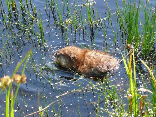 muskrat rat water