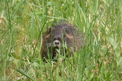 muskrat  young  rat