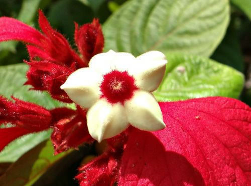 mussaenda flower red