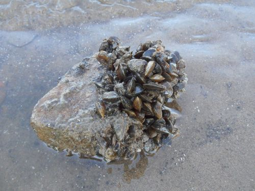 mussel riviermossel mussels