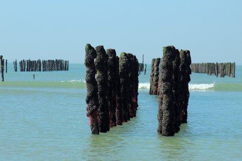 mussel  mussels  sea