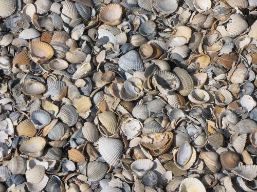 mussel shells mussels shard
