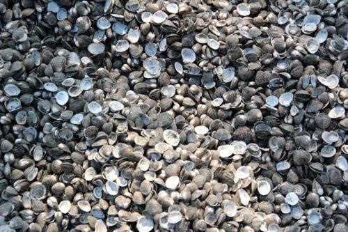 mussels shells mussel shells