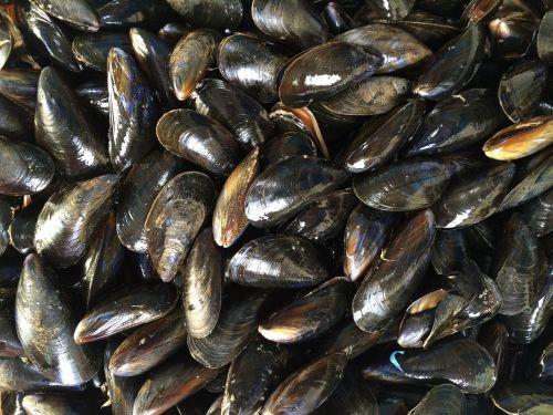 mussels shellfish black