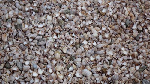 mussels shells beach