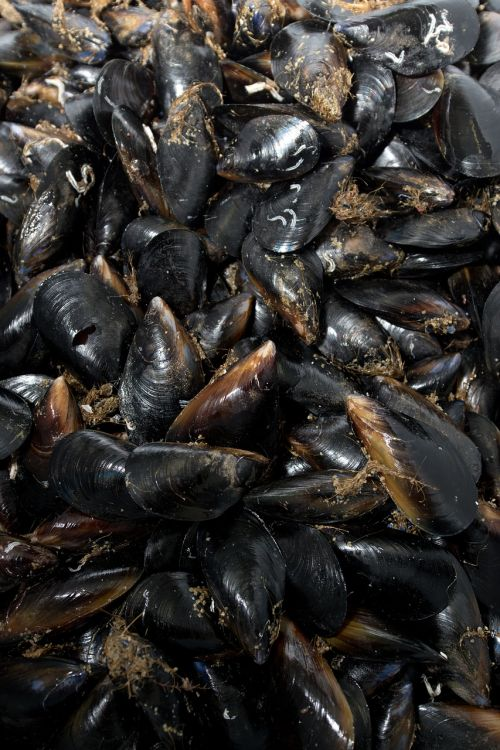 mussels seafood shells