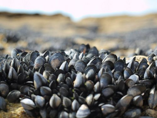 mussels sea nature