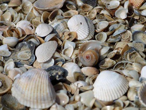 mussels mussel shells shells