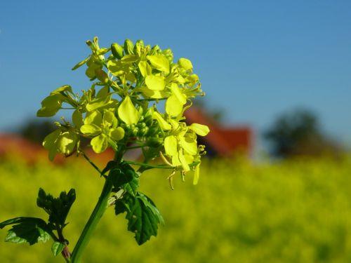 mustard fertilizer yellow