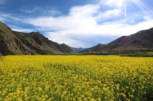 mustard  flower field  tibet