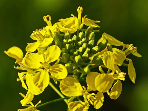 mustard flower mustard autumn plant