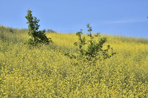 Mustard Meadow