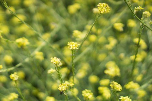 Mustard Yellow Wildflower
