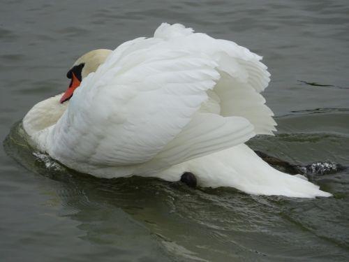 mute swan swan swan swimming