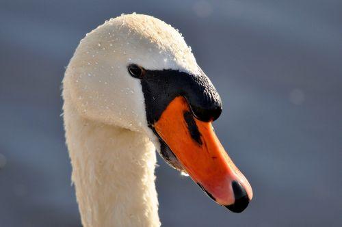 mute swan swan animal