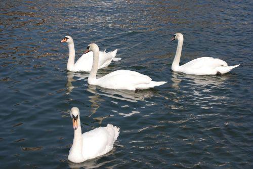 mute swan cygnus olor white
