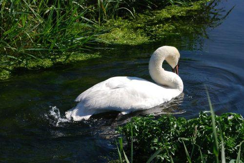 mute swan cygnus olor waterfowl