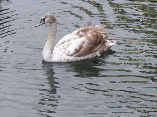 mute swan teen brown