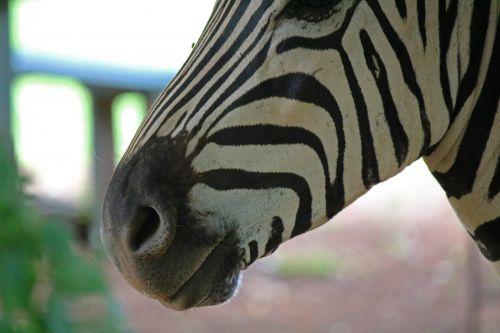 Muzzle Of Zebra