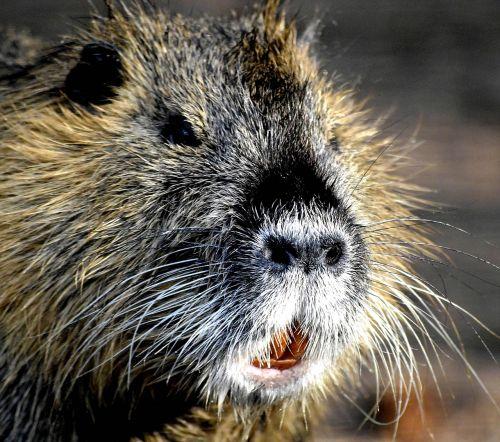 my friend wild nutria rat