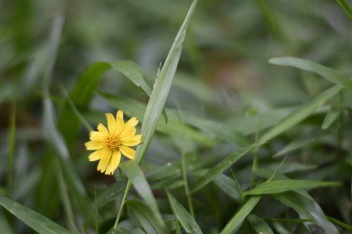 myanmar flower yangon