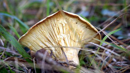mycology mushroom boletaire