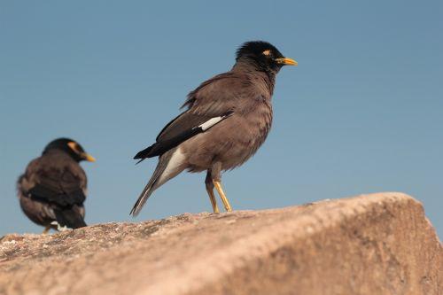 myna bird yellow beak