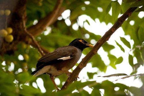 myna bird perched
