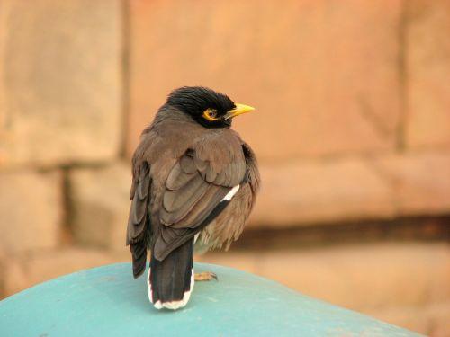 mynah bird ornithology