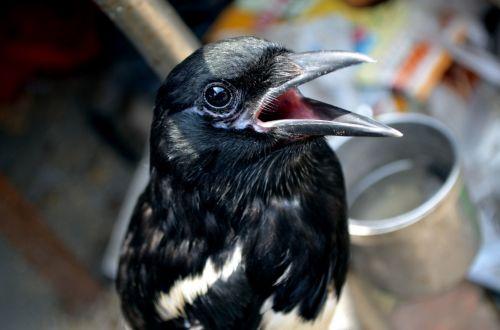 gyvūnai, paukštis, mina, naminis gyvūnėlis, augintiniai, kalbėti, kalbasi & nbsp, paukštis, Mynah paukštis