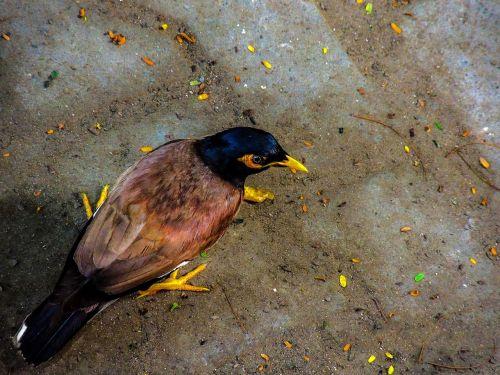 mynah bird myna bird starling