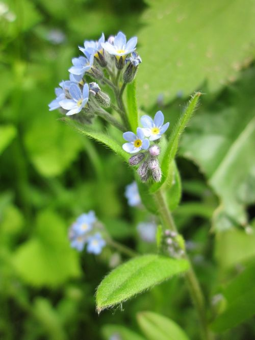 myosotis arvensis field forget-me-not forget-me-not