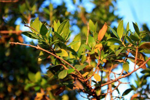 Myrtle Branches