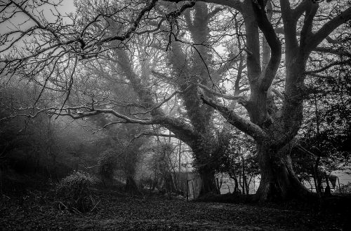 mystic trees foggy