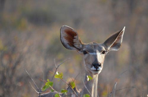 namibia antelope africa