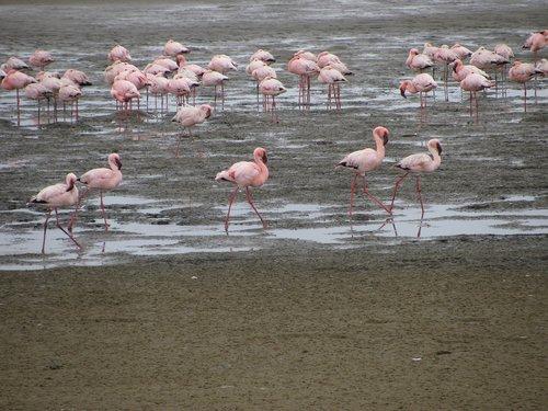 namibia  birds  flamingo