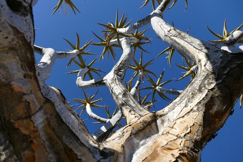 namibia  quiver tree  africa