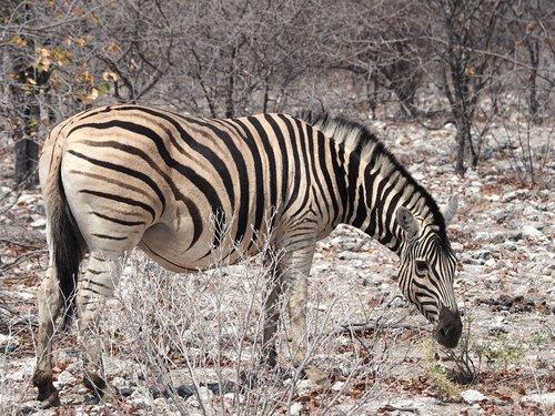 namibia  zebra  etosha