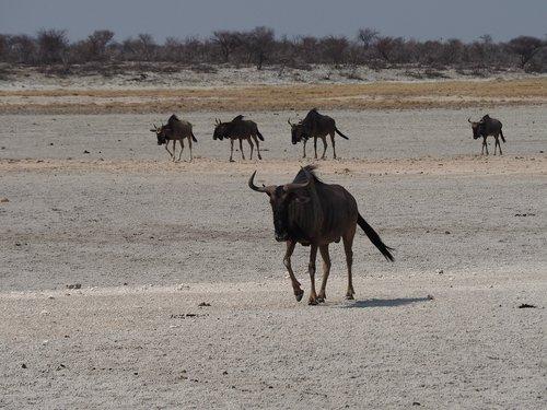 namibia  kudu  etosha