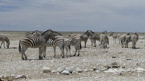 namibia  zebras  animal