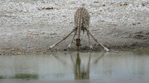 namibia  giraffe  animal