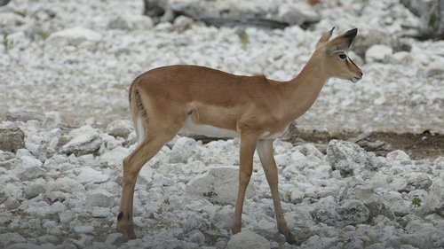 namibia  animal  africa