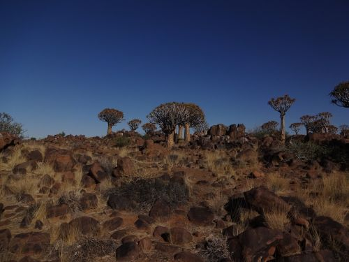 namibia quiver tree forest landscape