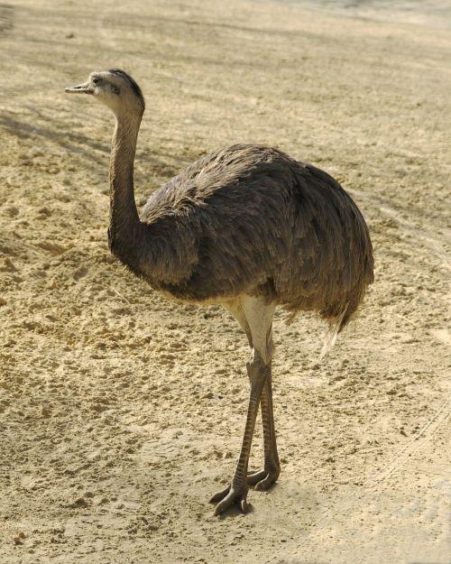 nandu rhea bird
