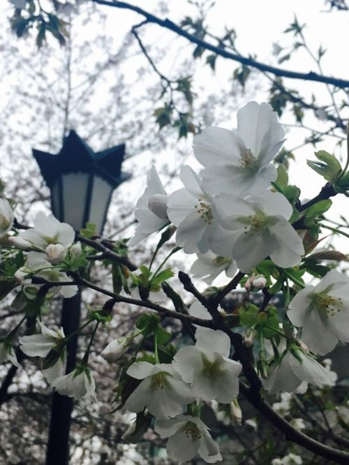 nanjing jimingsi cherry blossom tags with a comma separated