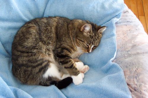 Nap Time Tabby Cat